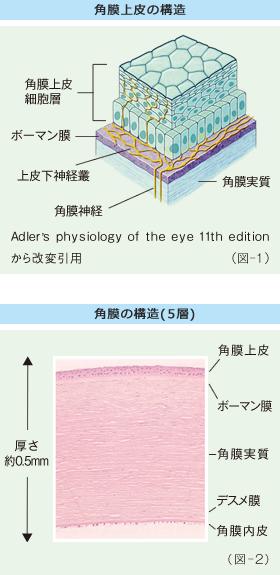 角膜上皮の構造 角膜の構造(5層)